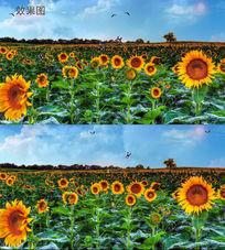 蓝天白云下的向日葵花开蝶飞背景视频