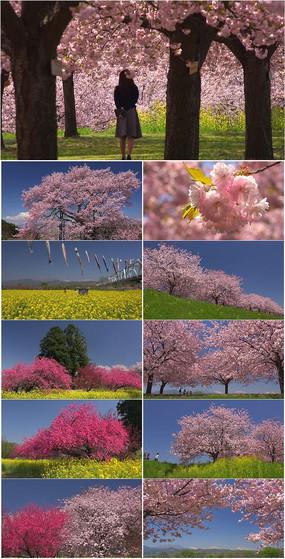 4k超清油菜花樱花绽放实拍视频素材