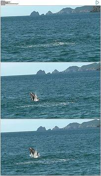 海豚跳跃出海面实拍视频素材