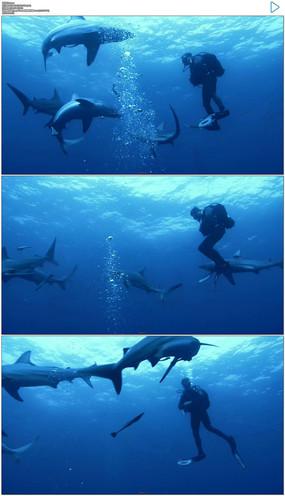 几只海豚围绕潜水员实拍视频素材
