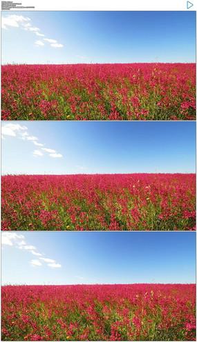 蓝天白云绿草红花