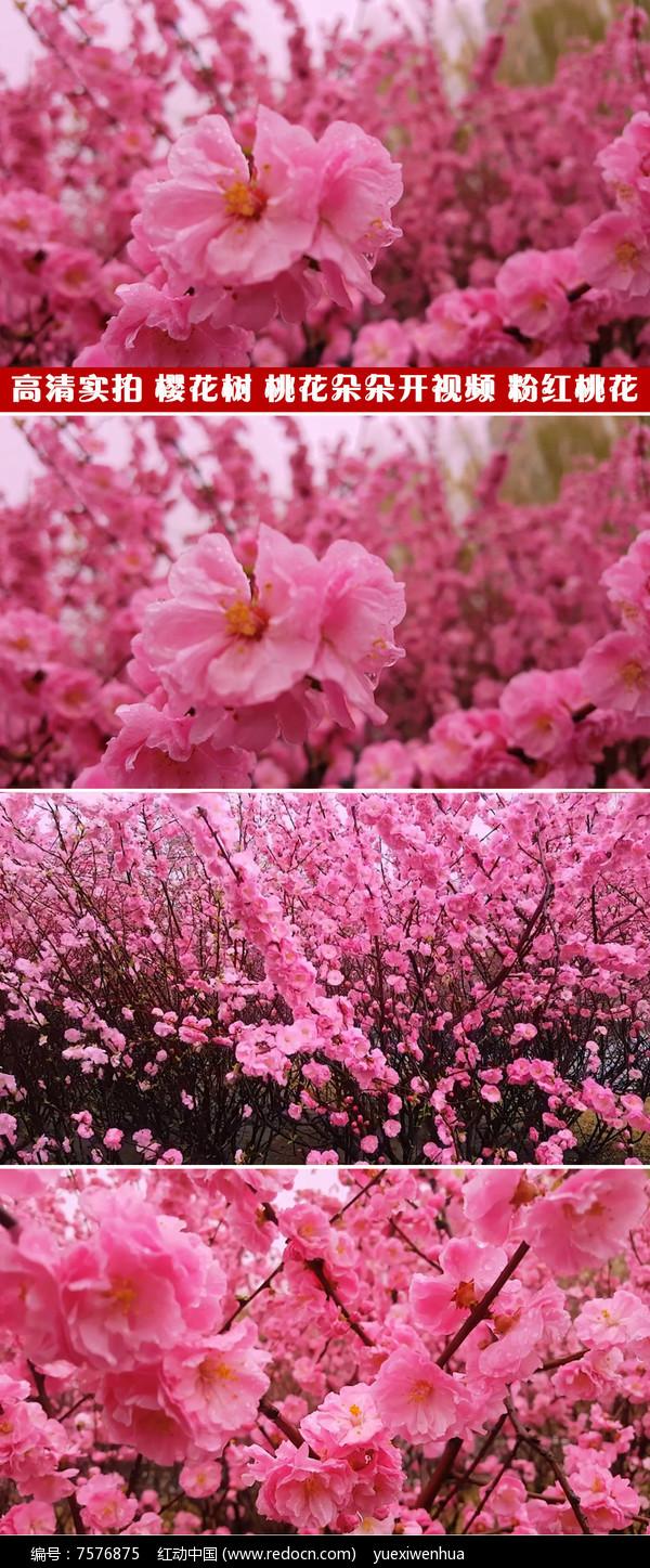 高清实拍视频素材粉红的桃花樱花桃树林图片