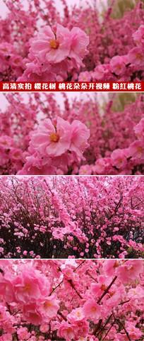 高清实拍视频素材粉红的桃花樱花桃树林