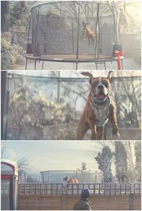 小狗蹦蹦跳跳玩蹦床开心兴奋视频