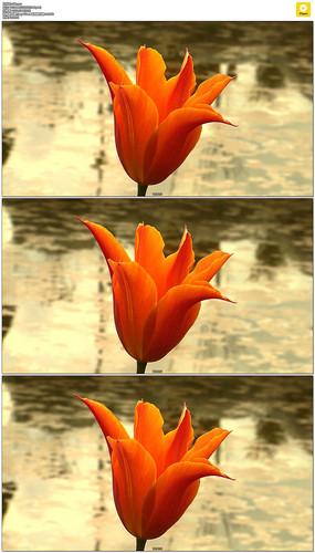 池塘一朵红色郁金香实拍视频素材