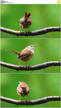 树枝上的小鸟实拍视频素材