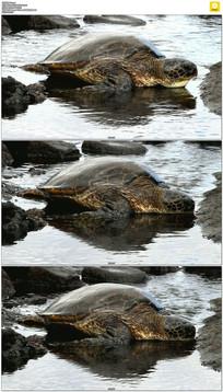 绿海龟喝水实拍视频素材