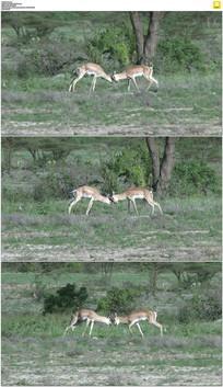 两只小鹿碰头打架实拍视频素材