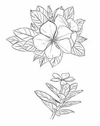 手绘花卉长寿花黑白素材