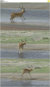 草原上奔跑的小鹿实拍视频素材