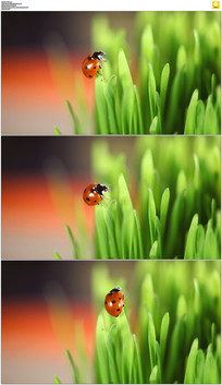 草丛上的七星瓢虫实拍视频素材