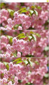 日本樱花视频素材