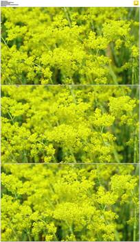 黄色花丛实拍视频素材