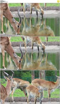 小鹿喝水实拍视频素材