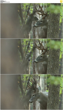 两只可爱的小鹿实拍视频素材