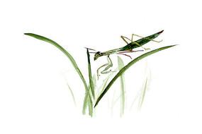 水墨螳螂插画
