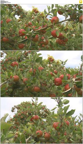 秋天的果園
