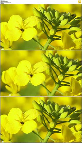 黄色油菜花实拍视频素材