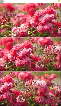 红色玫瑰花实拍视频素材