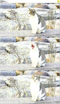 打哈欠的小猫咪实拍视频素材