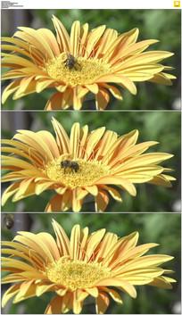 小蜜蜂采花蜜实拍视频素材