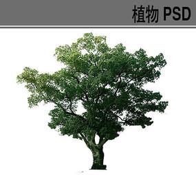 大乔木PS植物素材