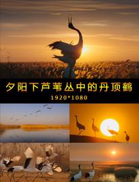 夕阳下芦苇丛中的丹顶鹤视频