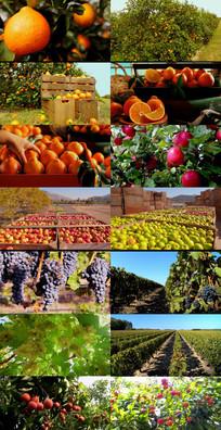 果园 脐橙 柑橘 葡萄 苹果 动态视频