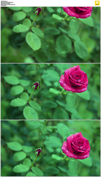 红花绿叶实拍视频素材