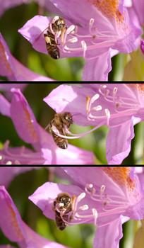 蜜蜂采蜜高清实拍视频素材