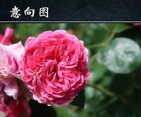 粉色月季花图