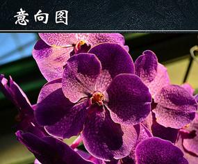 紫色蝴蝶兰图