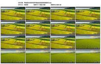 稻田水稻丰收实拍高清视频