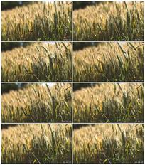 户外稻田实拍视频素材