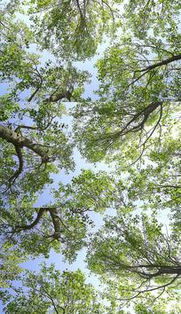4K仰望森林大树实拍视频素材