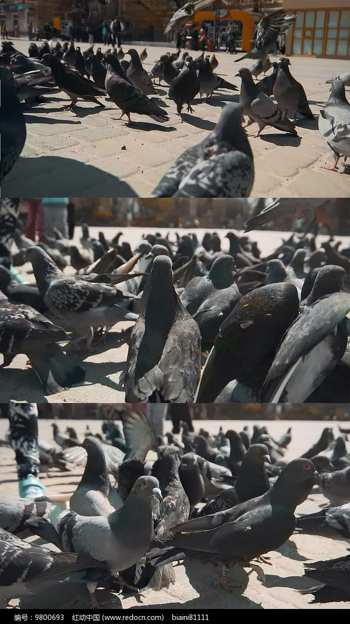 广场鸽子群实拍视频素材图片