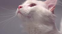 可爱的宠物猫特写视频素材