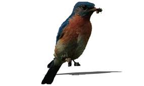 吃虫子的鸟SU模型 skp