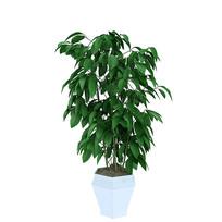 室内盆栽,室内绿植,平安树