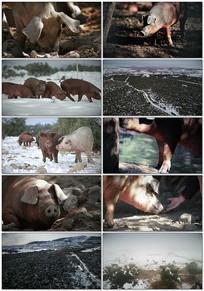 生态农场猪养殖视频素材