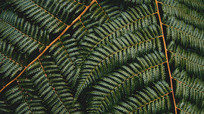 蕨类植物背景图