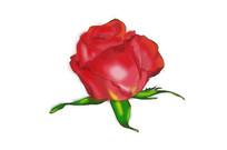 玫瑰花 PS 手绘元素