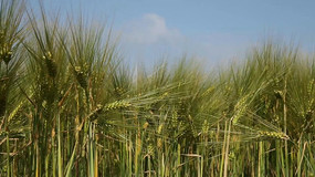 夏天农作物小麦丰收实拍视频素材