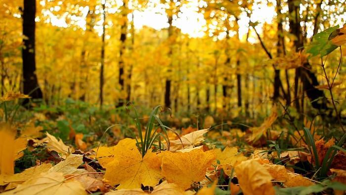 秋天的树叶视频素材