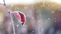 冬季雪花飘飞树叶上寒霜雪花视频素材