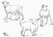 羊的手绘图插画