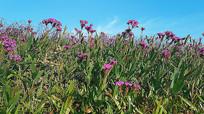 4k漂亮的花格桑花朵实拍视频素材