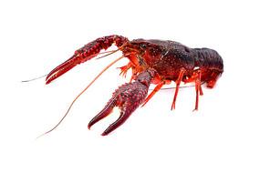 红色沼泽螯虾图片