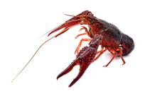 红螯虾摄影图