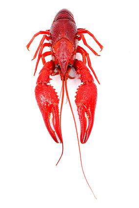 火红的小龙虾